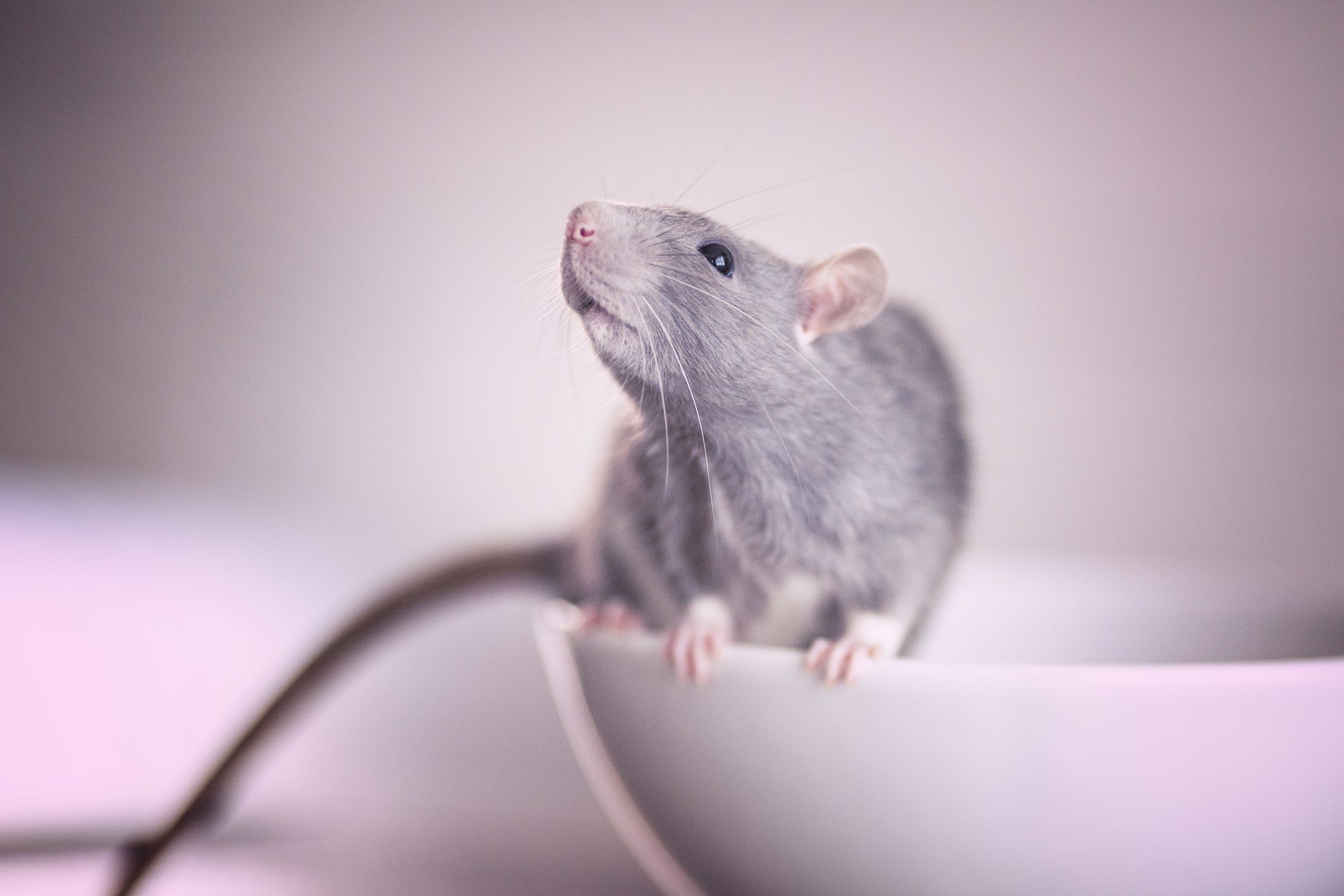 how to get rid of rats removing rats and mice