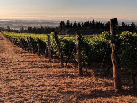 Agriculture, Vineyard, Sky, Field, Morning, Tree, Rural area, Sunlight, Leaf, Evening,