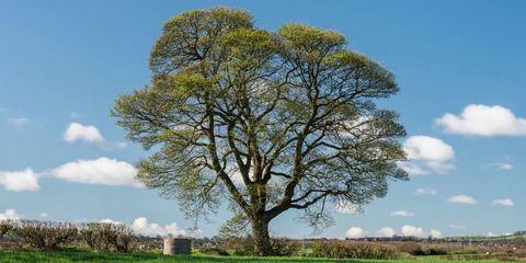 sycamore-tree.jpg