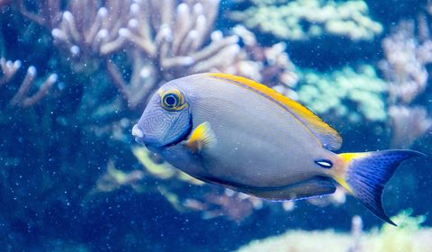 Fish, Fish, Vertebrate, Underwater, Pomacentridae, Marine biology, Pomacanthidae, Coral reef fish, Blue, Organism,