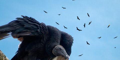 Vulture Variability