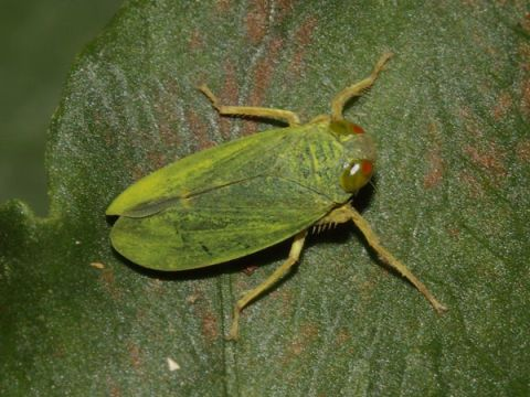 By Air: Leafhopper
