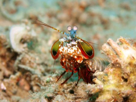 By Sea: Mantis Shrimp