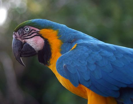 blue-and-yellow macaw parrot in pantanal brazil