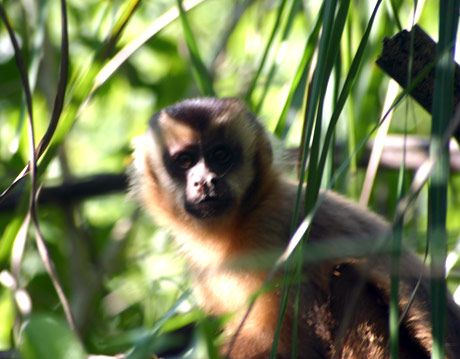 brown capuchin monkey in brazil pantanal