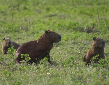 capybaras in brazil pantanal