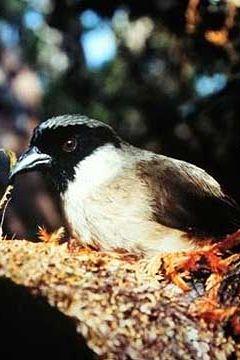 po'ouli bird