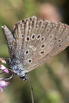 dutch alcon blue butterfly