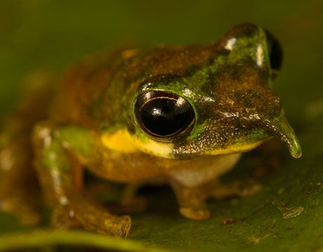 pinocchio frog