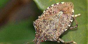 Stink Bug vs Parasitic Wasp