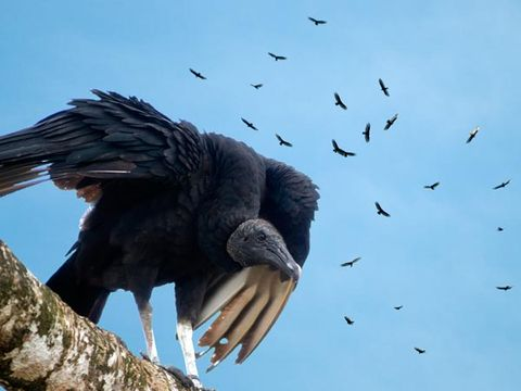 Vulture Variability