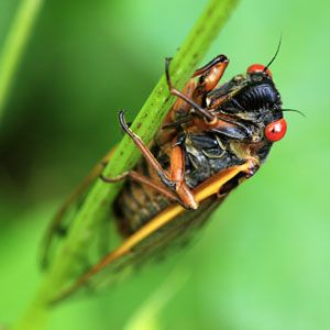 Everything You Need to Know About the Cicada Swarm