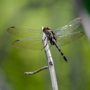 Attract Dragonflies to Your Yard for All-Natural Pest Control