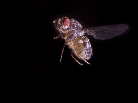 Fruit fly in flight.