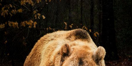 Brown, Grizzly bear, Carnivore, Brown bear, Adaptation, Terrestrial animal, Bear, Snout, Kodiak bear, Nature reserve,