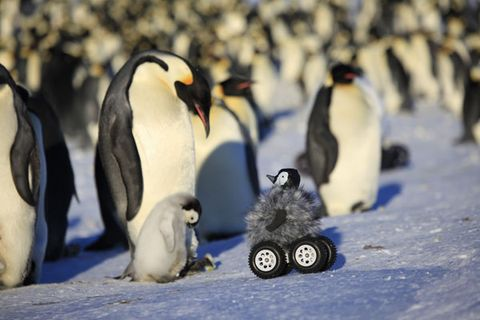 Robots Penguins Can Spy On The Real Thing For Science