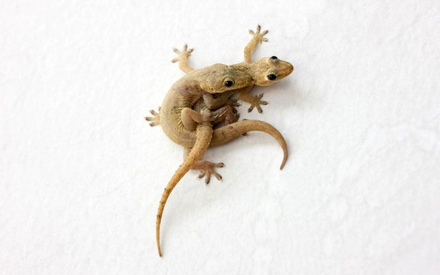 Gecko sex