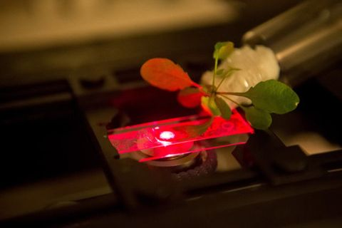 Imaging the fluorescence of carbon nanotubes inside leaves of an Arabidopsis plant using a single particle near infrared microscope.