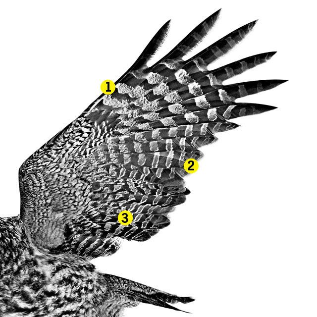 Owl Wings Hold the Secrets for Noise-Canceling Tech