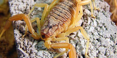 Deathstalker Scorpion, <em>Leiurus Quinquestriatus</em>