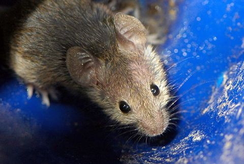 How to Get Rid of Mice | Weapons of Mouse Destruction | How