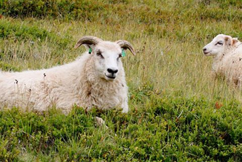 icelandic sheep in a meadow
