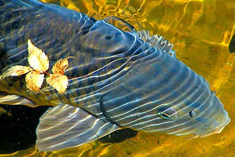 Carp Invasive Species