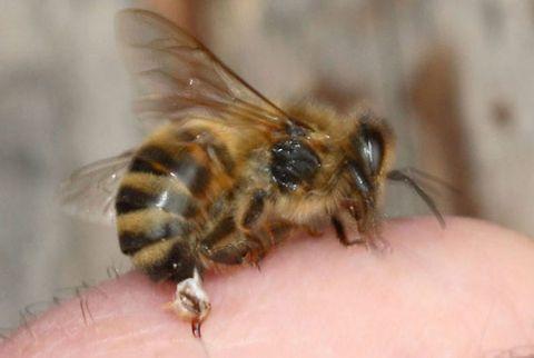 Honey Bee, <em>Apis Mellifera</em>