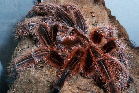 Chilean Rose Tarantula, <em>Grammostola Rosea</em>