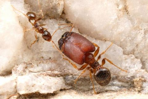 A supersoldier next to a minor worker ant.