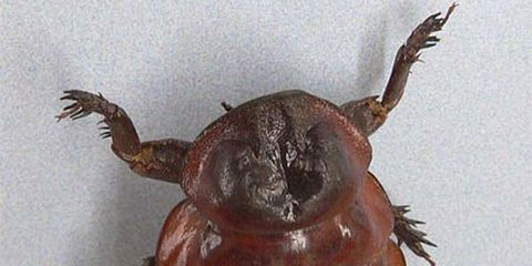 Invertebrate, Brown, Insect, Amber, Pest, Arthropod, Parasite, Beetle, Liver,