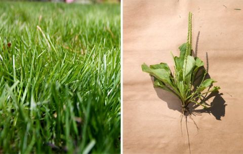 Once Itu0027s Started On Improved Soil, Grass Needs Very Little Care To Look  Crisp, Green, Cool And Inviting. Broadleaf Plantain: Weeds Invade When The  Lawn ...