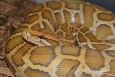 Snake, Terrestrial animal, Vertebrate, Scaled reptile, Iris, Adaptation, Wildlife, Organ, Reptile, Tan,