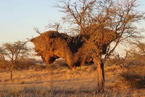 Sociable Weaver Nest, Namibia