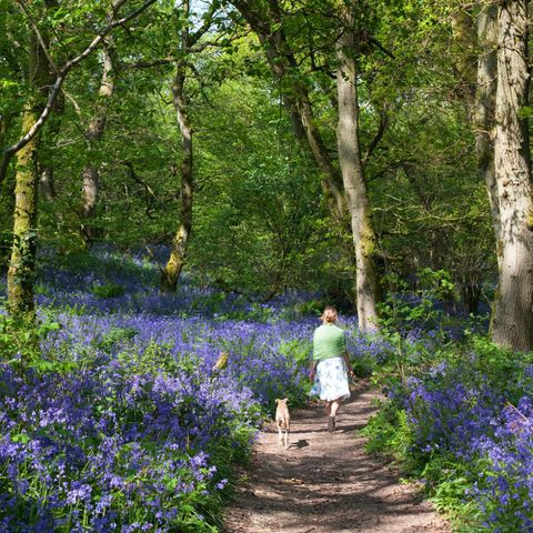 Woman in bluebell woods