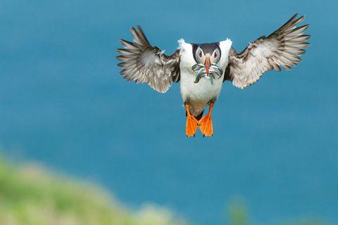 Puffin in flight, David Godfrey
