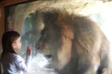Girl  gives lion a kiss video