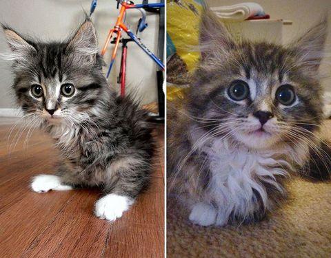 Pancake the two-legged cat