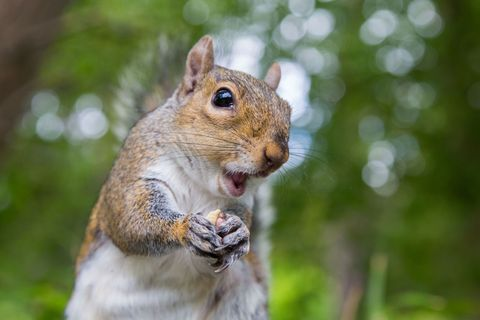 Squirrel, Skin, Grey squirrel, Whiskers, Rodent, Adaptation, Terrestrial animal, Snout, Fox squirrel, Fawn,