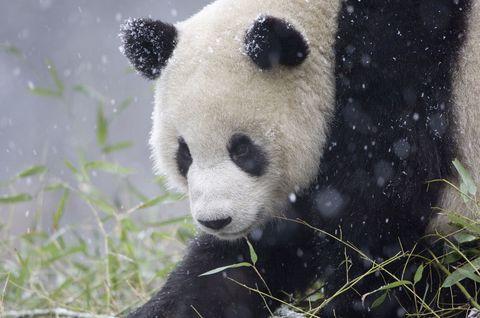 Giant panda with snowman at Toronto zoo