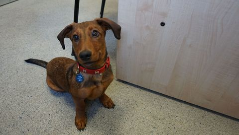 Meet Bob the deaf dachshund who's learning sign language to help him be rehomed