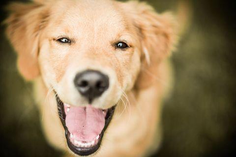 Happy labrador dog smiling