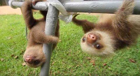 Skin, Vertebrate, Primate, Terrestrial animal, Snout, Adaptation, Fawn, Fur, Liver, Macaque,