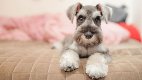 Schnauzer adopted by friars