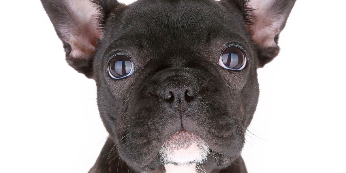 Adorable French Bulldog Mimics His Owners Kids To Get