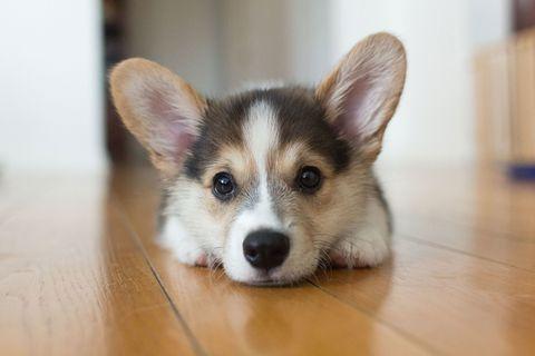 Dog, Mammal, Vertebrate, Canidae, Welsh Corgi, Pembroke welsh corgi, Dog breed, Carnivore, Puppy, Cardigan welsh corgi,