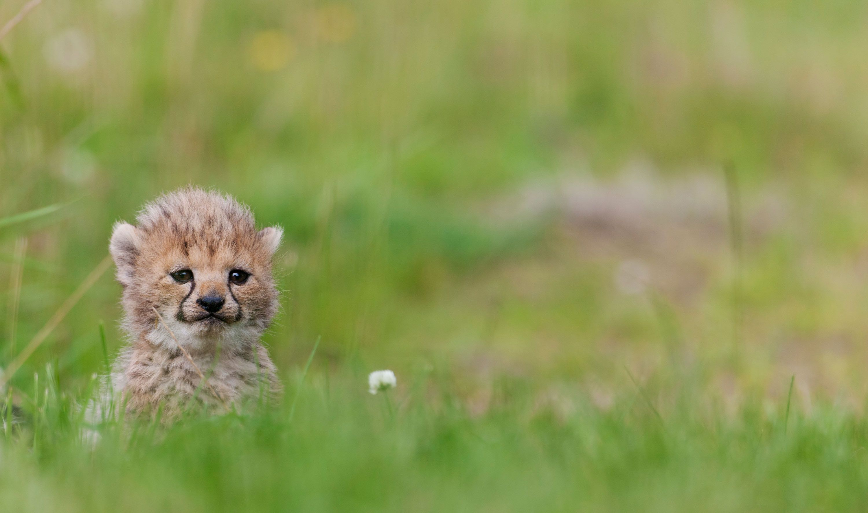 Anxious Baby Cheetahs Have Puppy Playdates To Help Them Relax