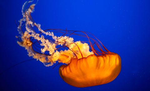 Why we should eat jellyfish
