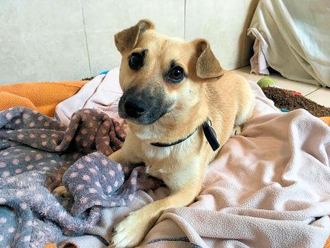 "<p><span>This 13-month-old Terrier mixed breed lacks self-confidence and is nervous of strangers. However, once he knows you he's quick to show his affectionate side and likes to rest his head on your lap.</span></p><p>Tommy would prefer not to live with other dogs or cats and would like to live in an all adult home. Tommy is looking for an experienced and patient owner who has plenty of time on their hands to continue his training and socialisation. &nbsp;</p><p> <strong data-redactor-tag=""strong"" data-verified=""redactor"">If you're interested in adopting Tommy, please visit <a href=""http://www.themayhew.org/"">the Mayhew website</a> or call 020 8962 8009.</strong><span class=""redactor-invisible-space""><strong data-redactor-tag=""strong"" data-verified=""redactor""></strong></span><br></p>"