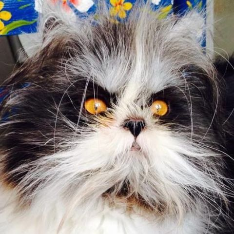 Carnivore, Iris, Snout, Colorfulness, Whiskers, Fur, Cat, Felidae, Natural material, Persian,